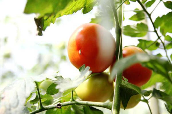 hình cà chua