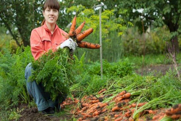 hình cà rốt