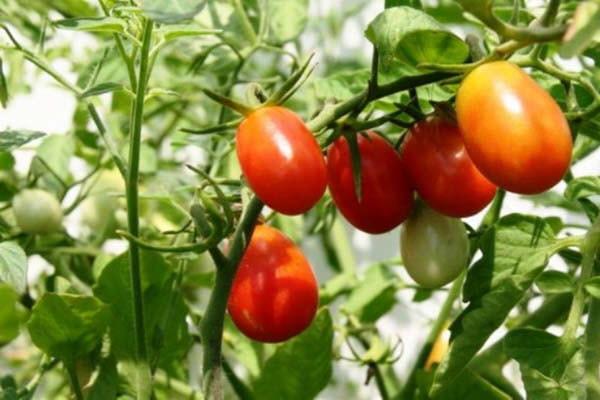 hình cà chua giúp ngăn ngừa tia cực tím