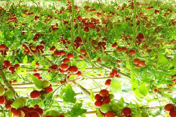 hình cà chua chống oxy hóa